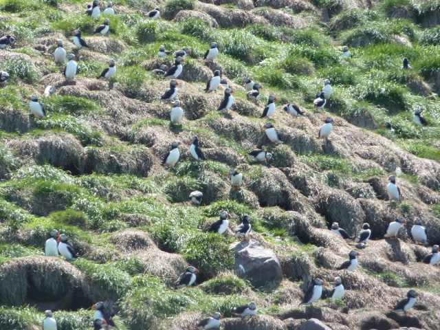 There are thousands of puffins on the grounds and nearby cliffs