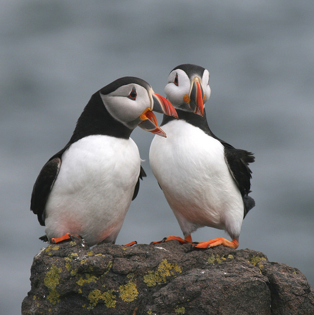 Puffins mate for life,....mmmm...
